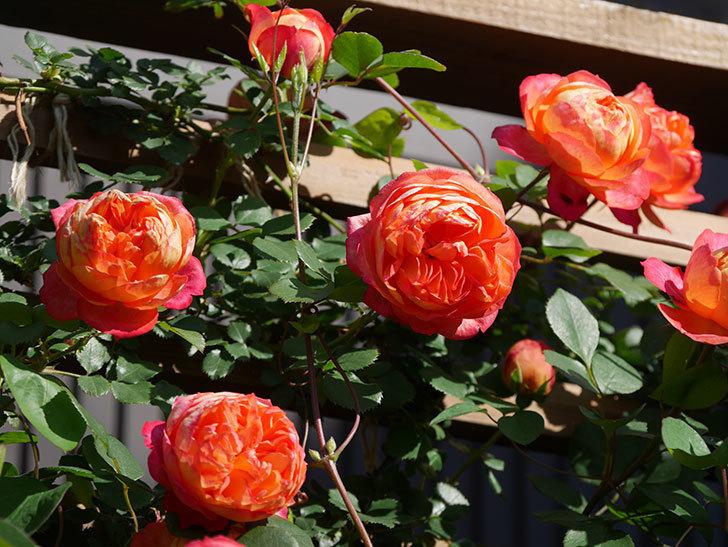 ソレイユロマンティカ(Soleil Romantica)の花がたくさん咲いた。ツルバラ。2021年-084.jpg