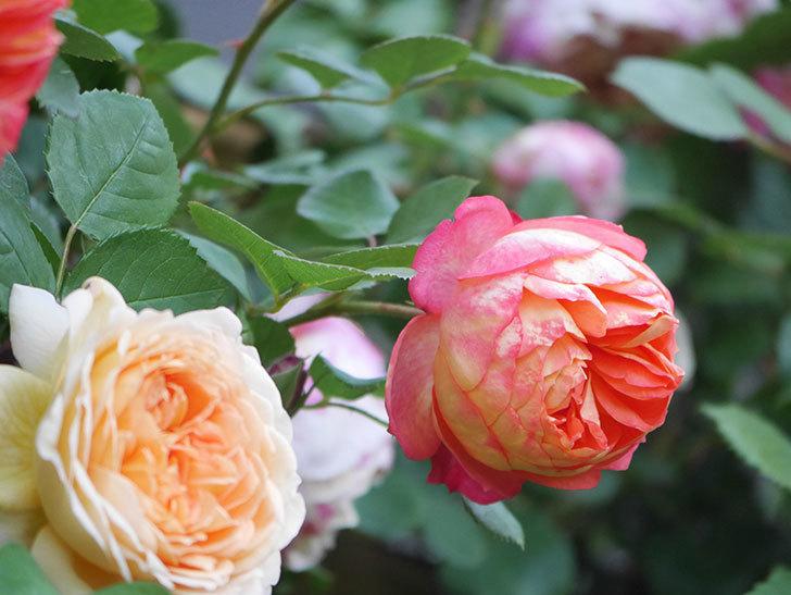 ソレイユロマンティカ(Soleil Romantica)の花がたくさん咲いた。ツルバラ。2021年-085.jpg
