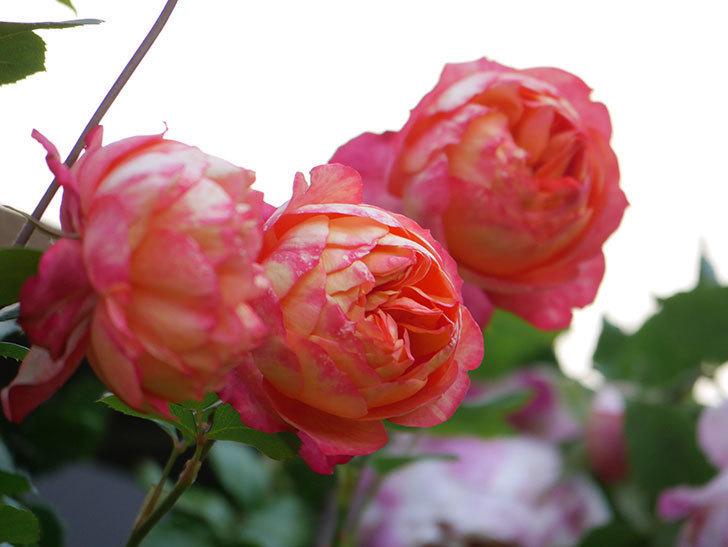 ソレイユロマンティカ(Soleil Romantica)の花がたくさん咲いた。ツルバラ。2021年-086.jpg