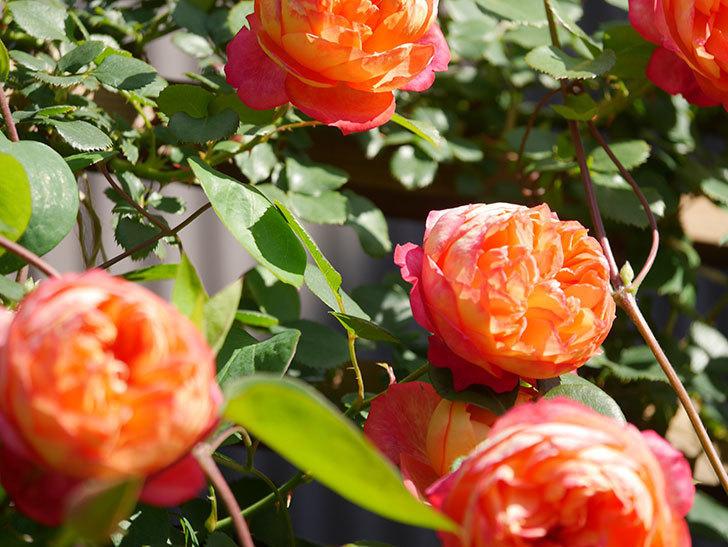 ソレイユロマンティカ(Soleil Romantica)の花がたくさん咲いた。ツルバラ。2021年-087.jpg