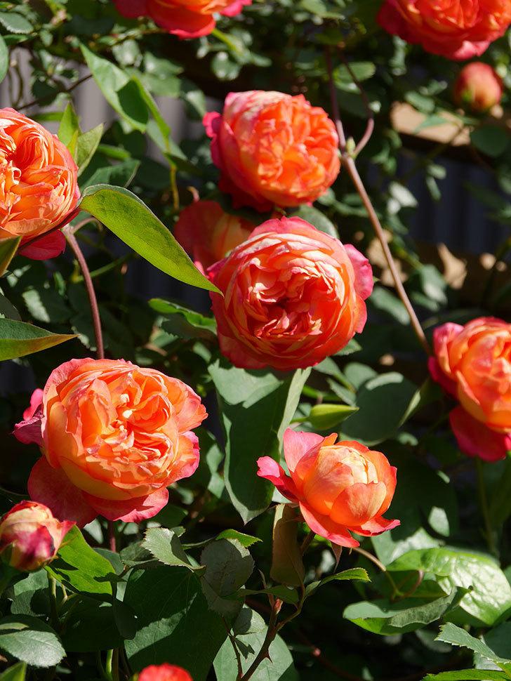 ソレイユロマンティカ(Soleil Romantica)の花がたくさん咲いた。ツルバラ。2021年-088.jpg