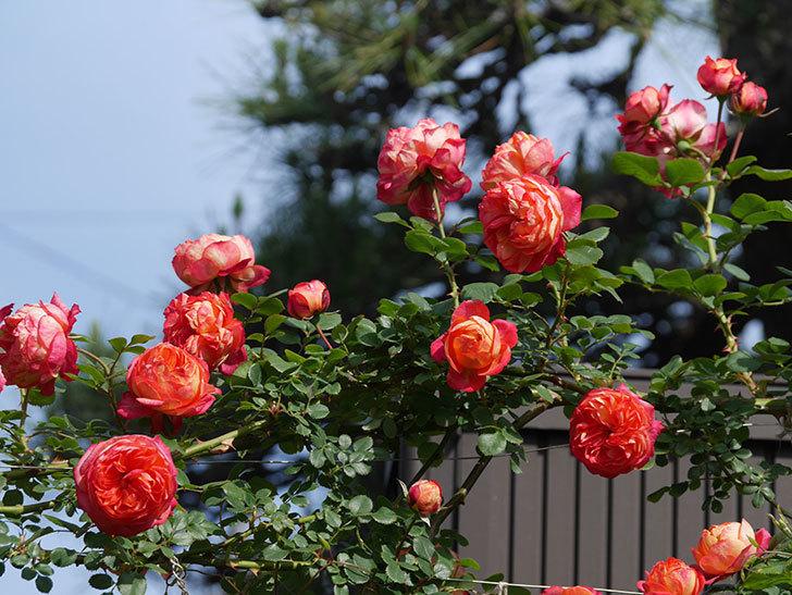 ソレイユロマンティカ(Soleil Romantica)の花がたくさん咲いた。ツルバラ。2021年-090.jpg