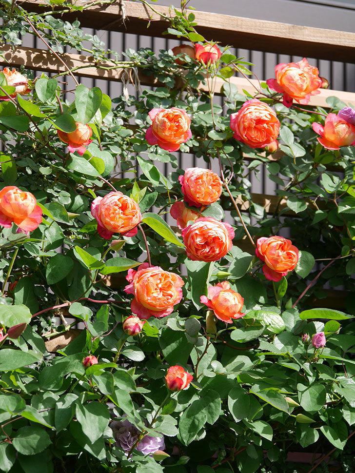 ソレイユロマンティカ(Soleil Romantica)の花がたくさん咲いた。ツルバラ。2021年-091.jpg