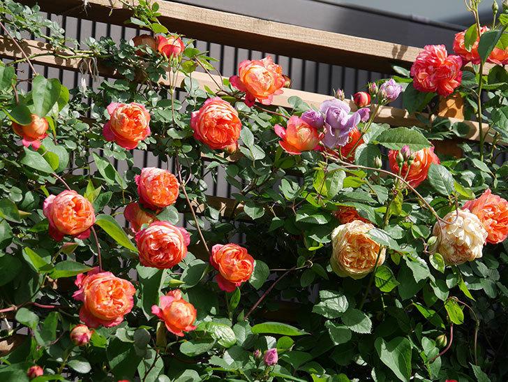 ソレイユロマンティカ(Soleil Romantica)の花がたくさん咲いた。ツルバラ。2021年-092.jpg