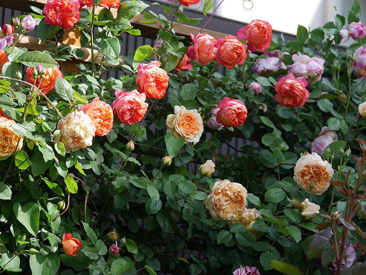 ソレイユロマンティカ(Soleil Romantica)の花がたくさん咲いた。ツルバラ。2021年-093.jpg