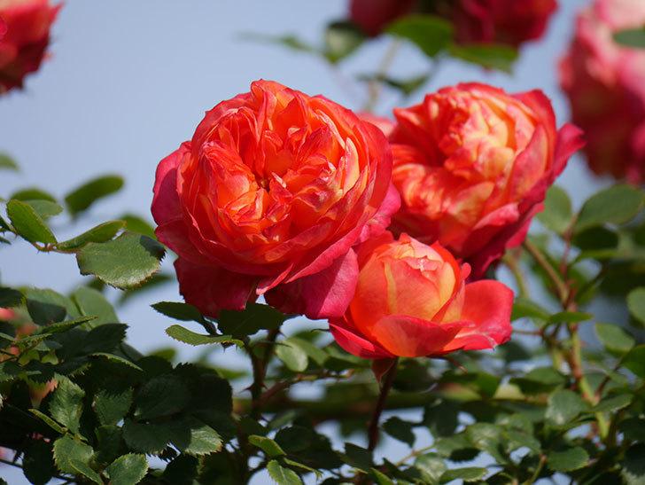 ソレイユロマンティカ(Soleil Romantica)の花がたくさん咲いた。ツルバラ。2021年-094.jpg