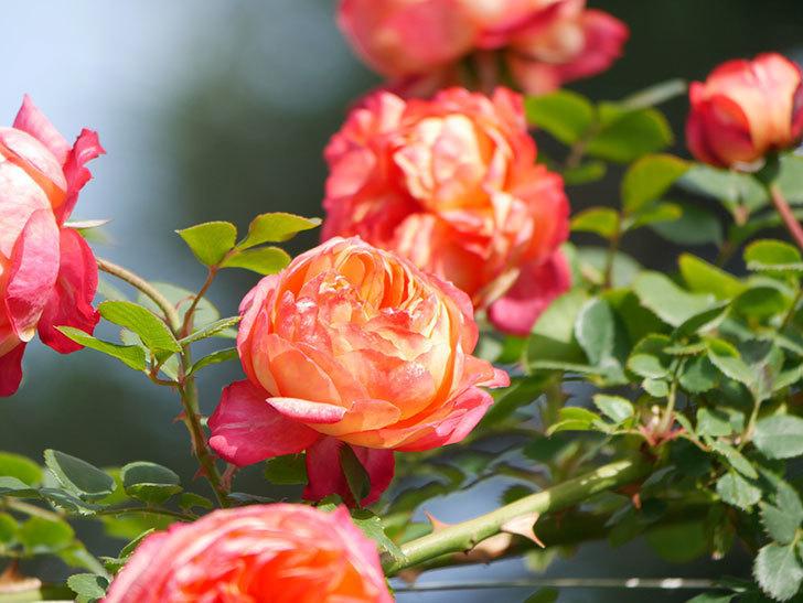 ソレイユロマンティカ(Soleil Romantica)の花がたくさん咲いた。ツルバラ。2021年-095.jpg