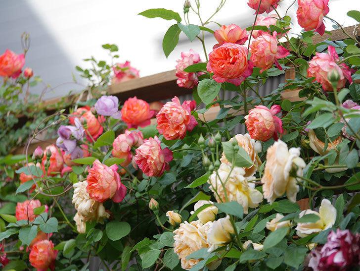 ソレイユロマンティカ(Soleil Romantica)の花がたくさん咲いた。ツルバラ。2021年-096.jpg