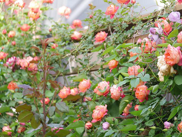 ソレイユロマンティカ(Soleil Romantica)の花がたくさん咲いた。ツルバラ。2021年-097.jpg