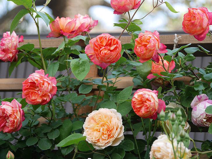 ソレイユロマンティカ(Soleil Romantica)の花がたくさん咲いた。ツルバラ。2021年-098.jpg
