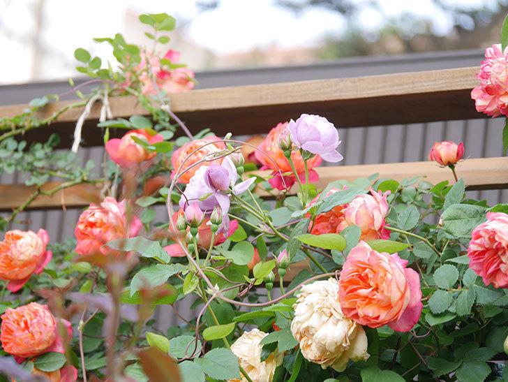 ソレイユロマンティカ(Soleil Romantica)の花がたくさん咲いた。ツルバラ。2021年-099.jpg