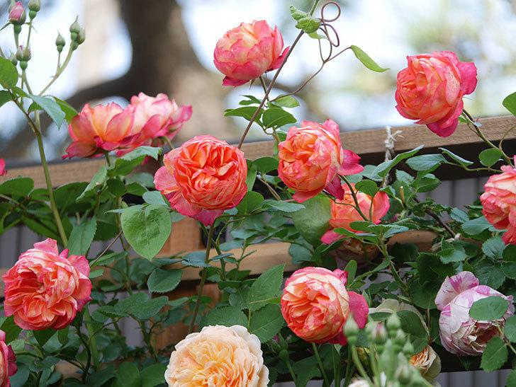 ソレイユロマンティカ(Soleil Romantica)の花がたくさん咲いた。ツルバラ。2021年-100.jpg