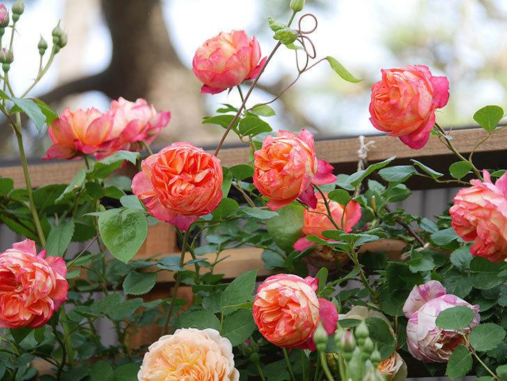 ソレイユロマンティカ(Soleil Romantica)の花がたくさん咲いた。ツルバラ。2021年-101.jpg