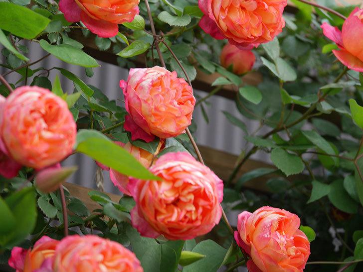 ソレイユロマンティカ(Soleil Romantica)の花がたくさん咲いた。ツルバラ。2021年-103.jpg