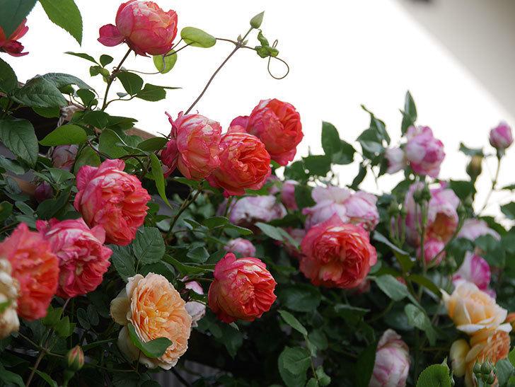 ソレイユロマンティカ(Soleil Romantica)の花がたくさん咲いた。ツルバラ。2021年-104.jpg