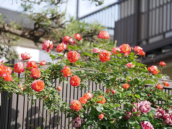 ソレイユロマンティカ(Soleil Romantica)の花がたくさん咲いた。ツルバラ。2021年-105.jpg