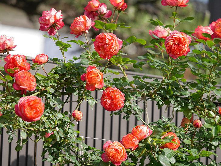 ソレイユロマンティカ(Soleil Romantica)の花がたくさん咲いた。ツルバラ。2021年-106.jpg