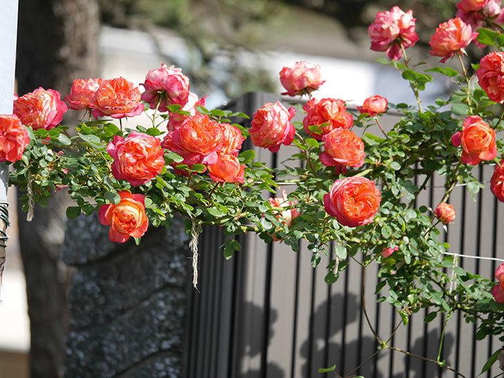 ソレイユロマンティカ(Soleil Romantica)の花がたくさん咲いた。ツルバラ。2021年-107.jpg