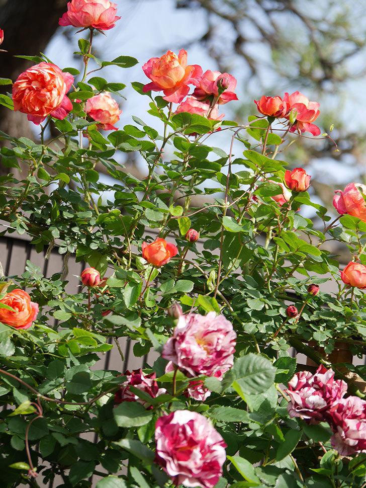 ソレイユロマンティカ(Soleil Romantica)の花がたくさん咲いた。ツルバラ。2021年-108.jpg
