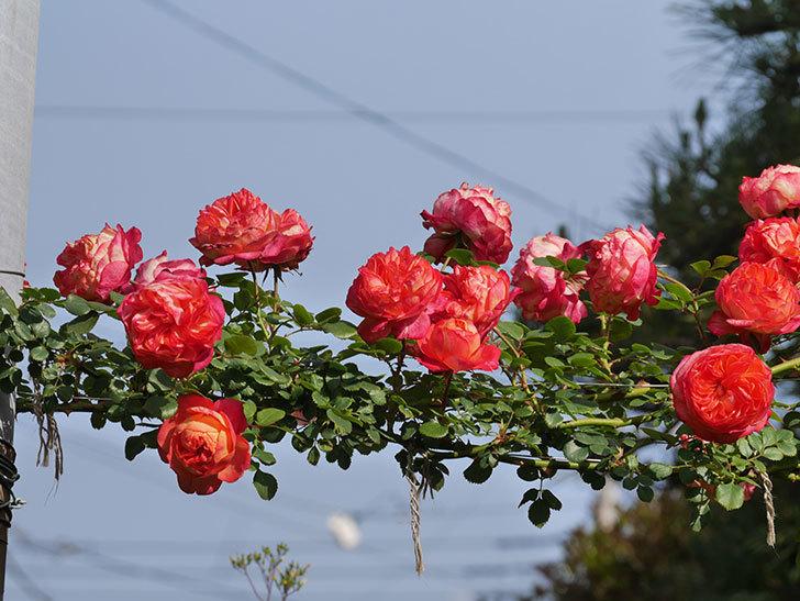 ソレイユロマンティカ(Soleil Romantica)の花がたくさん咲いた。ツルバラ。2021年-109.jpg