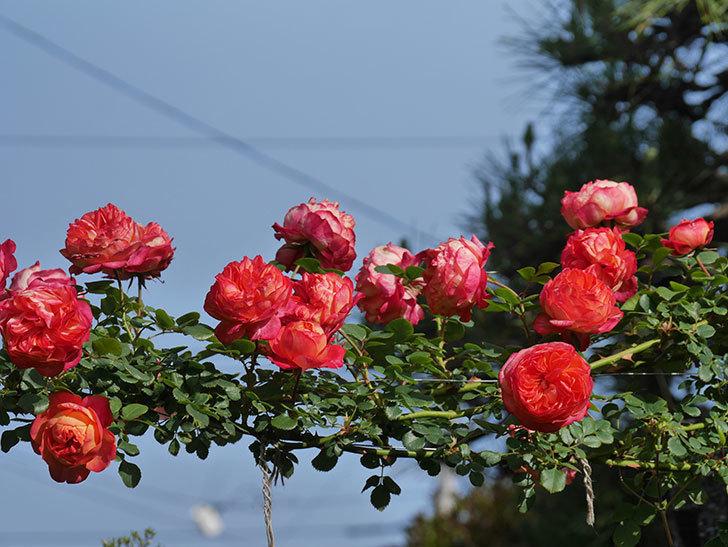 ソレイユロマンティカ(Soleil Romantica)の花がたくさん咲いた。ツルバラ。2021年-110.jpg
