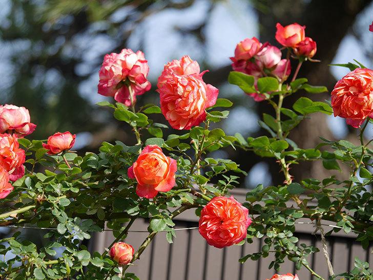 ソレイユロマンティカ(Soleil Romantica)の花がたくさん咲いた。ツルバラ。2021年-111.jpg