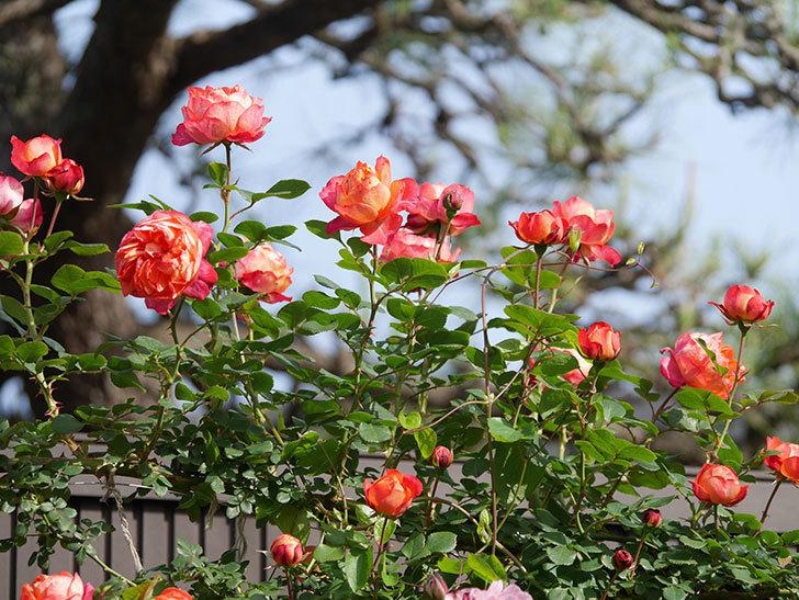 ソレイユロマンティカ(Soleil Romantica)の花がたくさん咲いた。ツルバラ。2021年-112.jpg