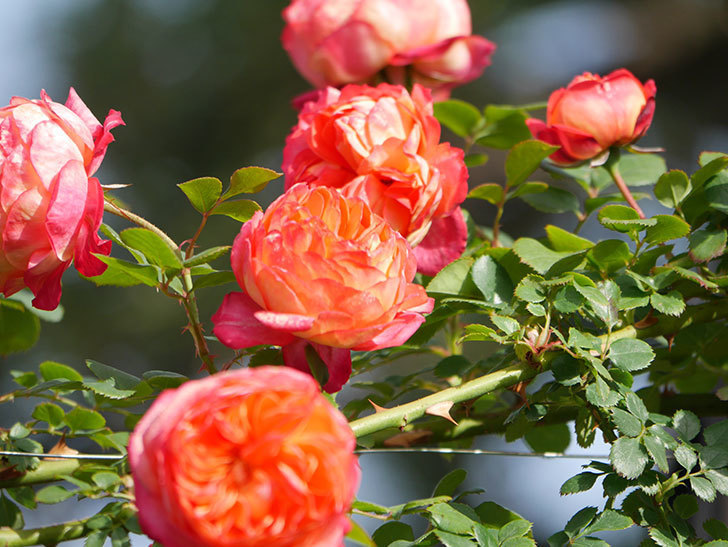 ソレイユロマンティカ(Soleil Romantica)の花がたくさん咲いた。ツルバラ。2021年-113.jpg
