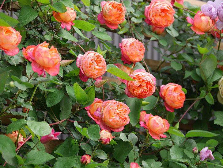 ソレイユロマンティカ(Soleil Romantica)の花がたくさん咲いた。ツルバラ。2021年-114.jpg