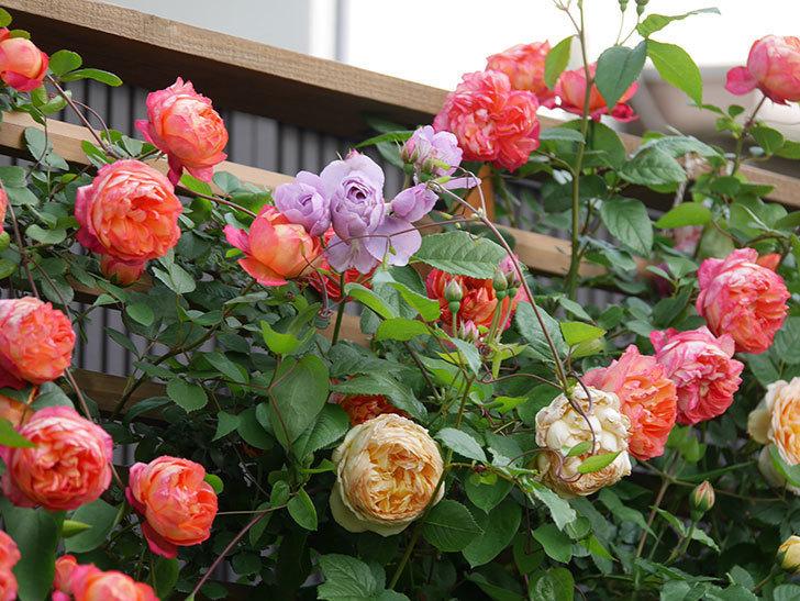 ソレイユロマンティカ(Soleil Romantica)の花がたくさん咲いた。ツルバラ。2021年-115.jpg