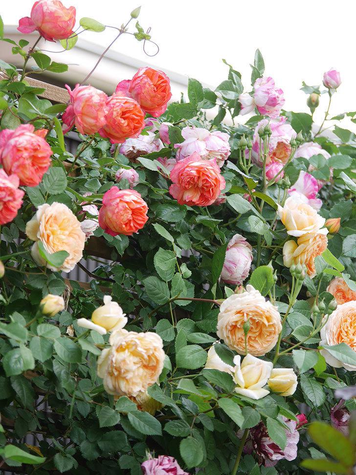 ソレイユロマンティカ(Soleil Romantica)の花がたくさん咲いた。ツルバラ。2021年-116.jpg