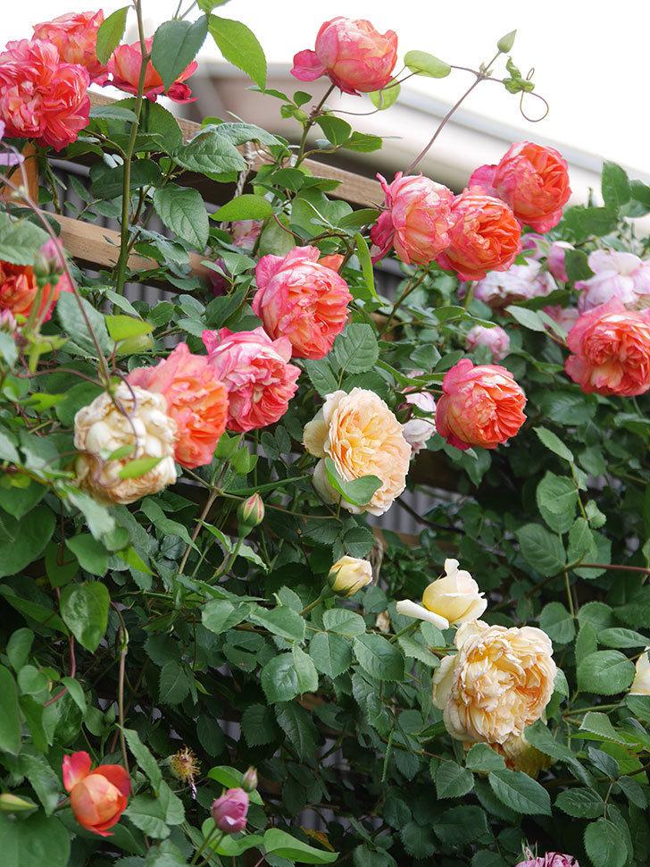 ソレイユロマンティカ(Soleil Romantica)の花がたくさん咲いた。ツルバラ。2021年-117.jpg
