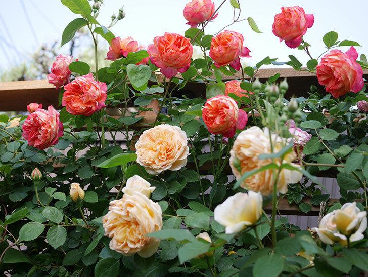 ソレイユロマンティカ(Soleil Romantica)の花がたくさん咲いた。ツルバラ。2021年-118.jpg