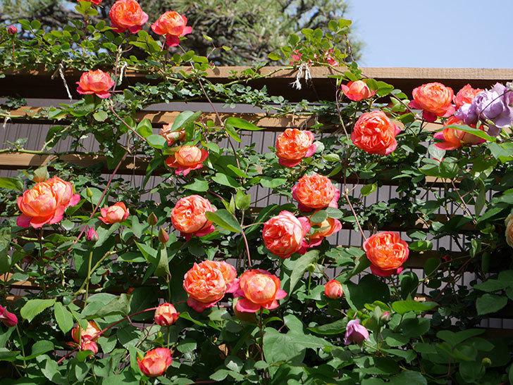 ソレイユロマンティカ(Soleil Romantica)の花がたくさん咲いた。ツルバラ。2021年-119.jpg