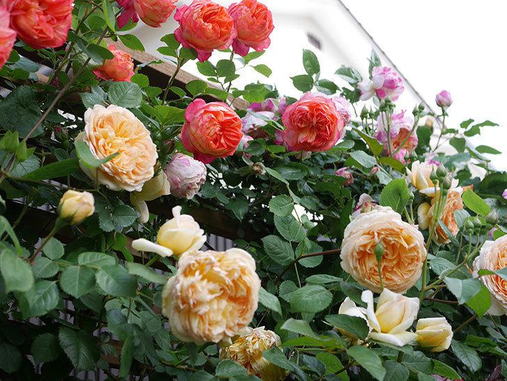 ソレイユロマンティカ(Soleil Romantica)の花がたくさん咲いた。ツルバラ。2021年-120.jpg