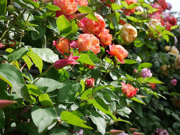 ソレイユロマンティカ(Soleil Romantica)の花がたくさん咲いた。ツルバラ。2021年-122.jpg