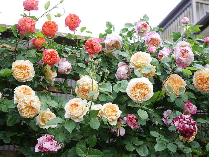 ソレイユロマンティカ(Soleil Romantica)の花がたくさん咲いた。ツルバラ。2021年-123.jpg