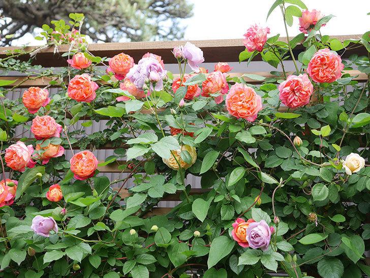 ソレイユロマンティカ(Soleil Romantica)の花がたくさん咲いた。ツルバラ。2021年-125.jpg