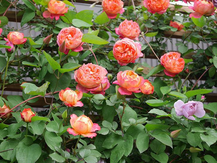 ソレイユロマンティカ(Soleil Romantica)の花がたくさん咲いた。ツルバラ。2021年-126.jpg