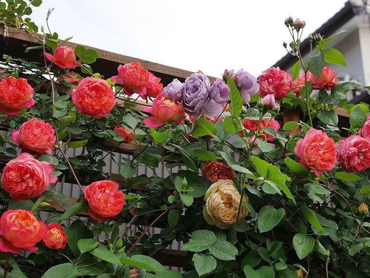 ソレイユロマンティカ(Soleil Romantica)の花がたくさん咲いた。ツルバラ。2021年-127.jpg