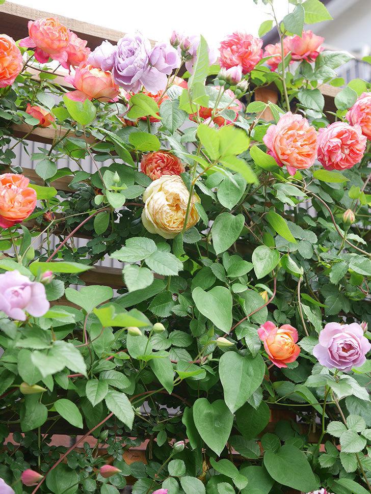 ソレイユロマンティカ(Soleil Romantica)の花がたくさん咲いた。ツルバラ。2021年-128.jpg