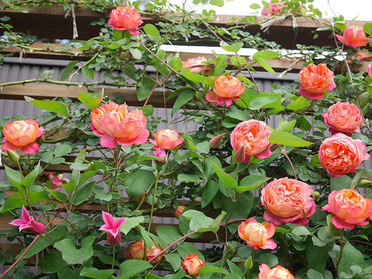 ソレイユロマンティカ(Soleil Romantica)の花がたくさん咲いた。ツルバラ。2021年-129.jpg