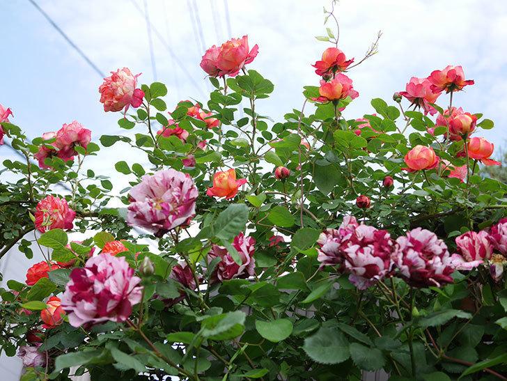 ソレイユロマンティカ(Soleil Romantica)の花がたくさん咲いた。ツルバラ。2021年-130.jpg