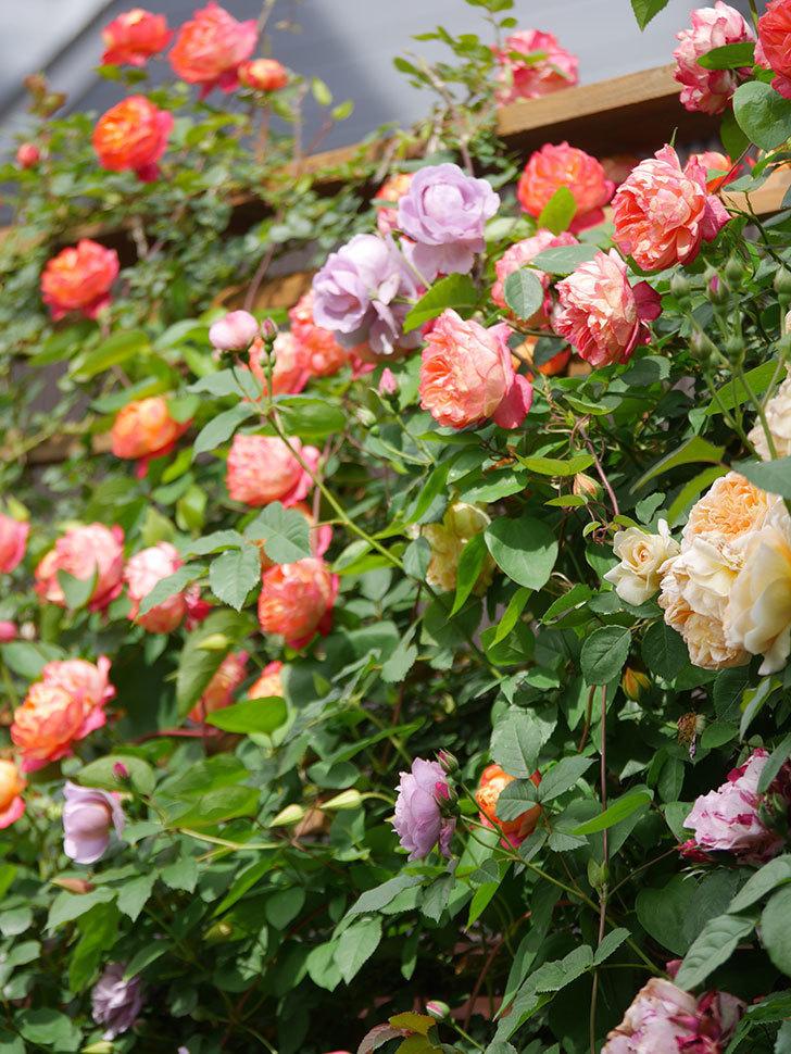 ソレイユロマンティカ(Soleil Romantica)の花がたくさん咲いた。ツルバラ。2021年-131.jpg