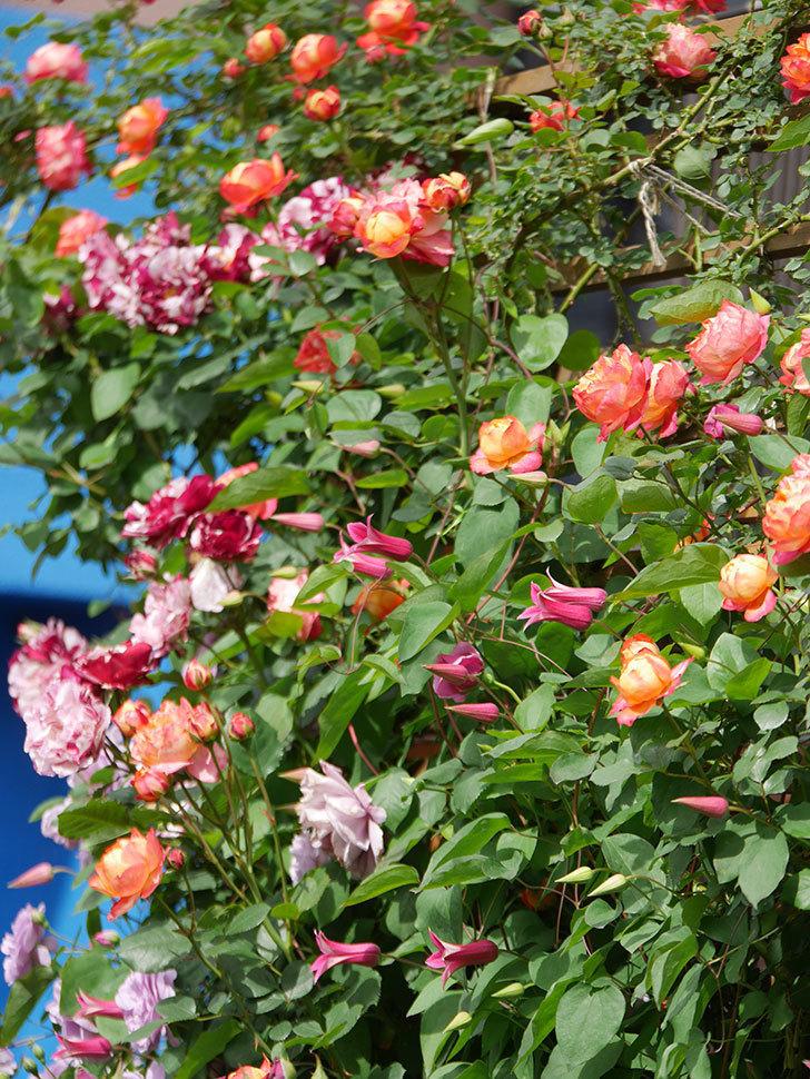 ソレイユロマンティカ(Soleil Romantica)の花がたくさん咲いた。ツルバラ。2021年-133.jpg
