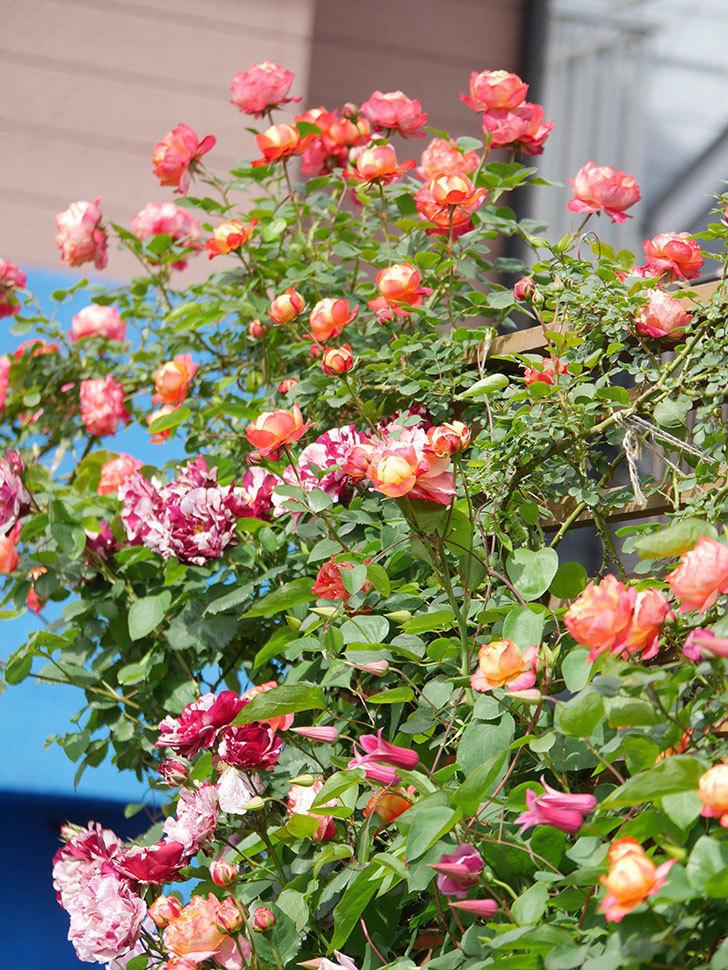 ソレイユロマンティカ(Soleil Romantica)の花がたくさん咲いた。ツルバラ。2021年-134.jpg
