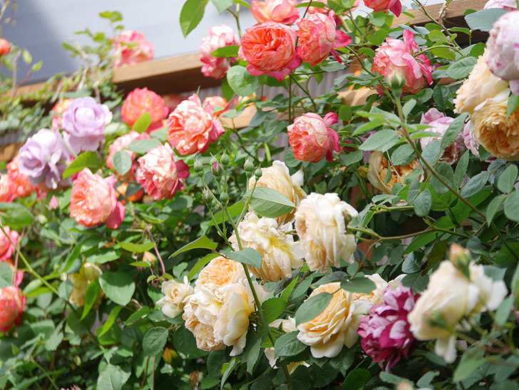 ソレイユロマンティカ(Soleil Romantica)の花がたくさん咲いた。ツルバラ。2021年-135.jpg