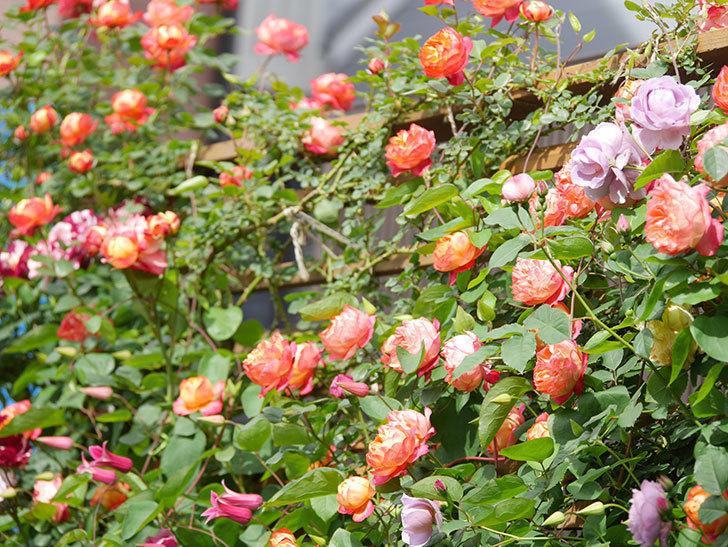 ソレイユロマンティカ(Soleil Romantica)の花がたくさん咲いた。ツルバラ。2021年-136.jpg