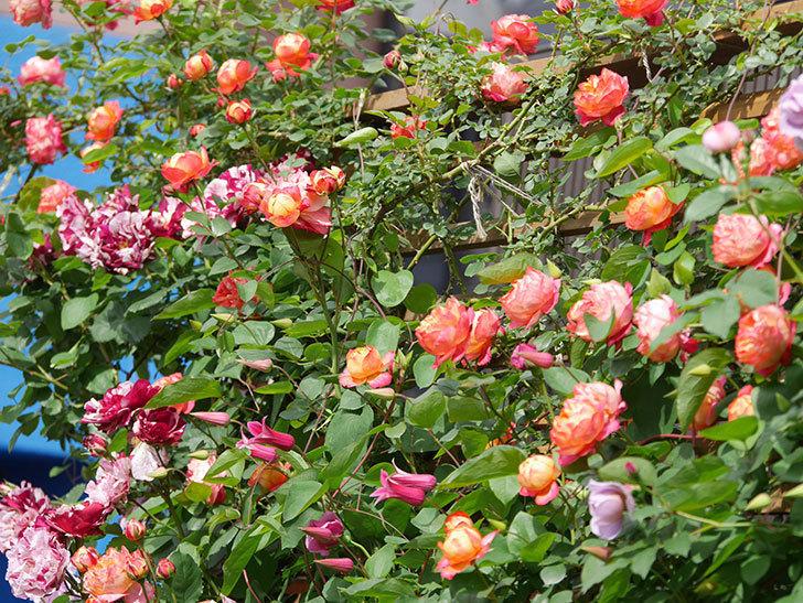 ソレイユロマンティカ(Soleil Romantica)の花がたくさん咲いた。ツルバラ。2021年-137.jpg