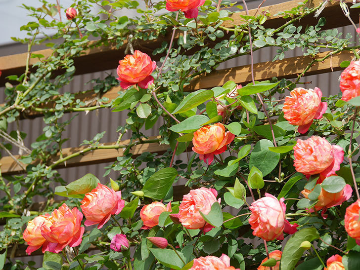 ソレイユロマンティカ(Soleil Romantica)の花がたくさん咲いた。ツルバラ。2021年-138.jpg